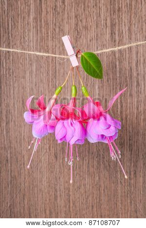 Fuchsia Flowers Handing On Rope With Clothespin On Wooden Background, Closeup