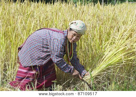 Woman of the White Karen hill tribe harvests rice at the field in Chiang Mai, Thailand.