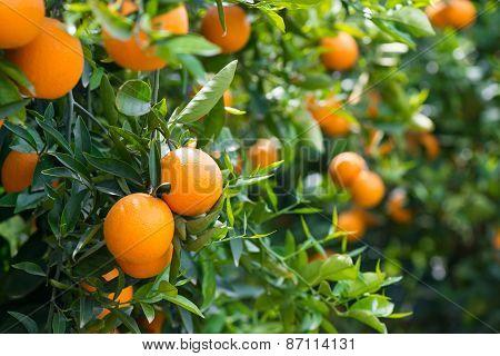 Orange Trees With Ripe Fruits