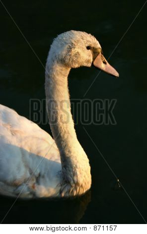 Cygnet looking towards the sun