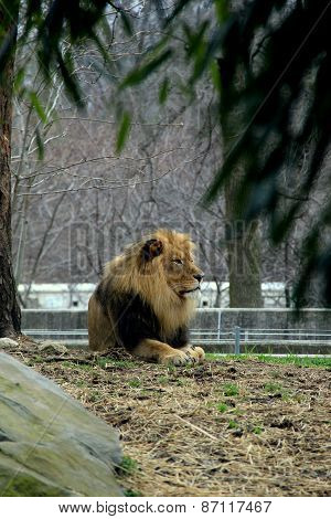 Beautiful lion sitting under shady tree