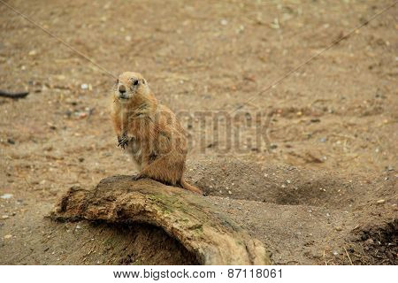 Prairie dog standing up on old stump