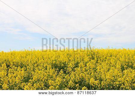 Yellow Rapeseed Field