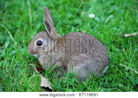 Baby Rabbit In Grass
