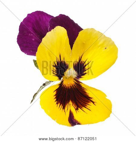 yellow pansy with dew drops