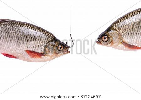 Two Fishes, Fish On A Hook,  Isolated On White, Clipping Path
