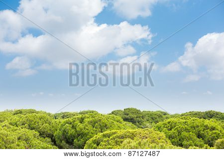 Tops Of Pine Trees And Deep Blue Sky
