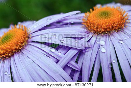 beautiful purple daisy flowers