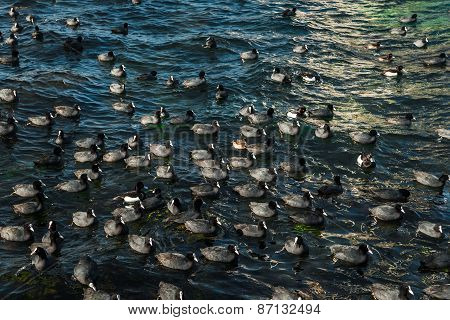 Flock Of Coots In Dark Blue Sea