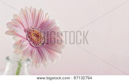 Closeup Of Pink Gerbera