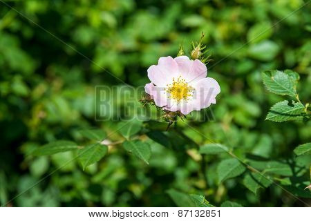 Dog Rose Flowers With Leaves