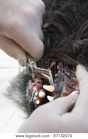 Veterinary Cleaning Of Dog Teeth Under Anesthesia