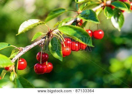 Red Ripe Cherries On A Tree Branch
