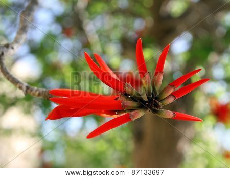 Erythrite Or Coral Tree