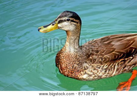Duck Looking