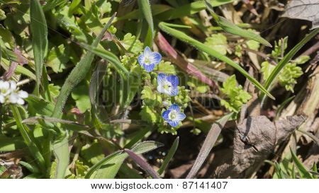 Bird's-eye Speedwell Veronica Persica