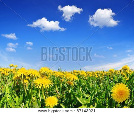 Blooming dandelions in the meadow. Spring landscape.