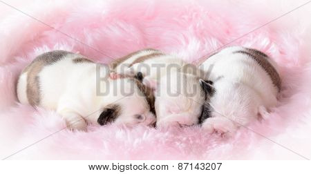 litter of bulldog puppies sleeping