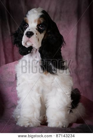 cute portrait of tri-color american cocker spaniel puppy on pink background