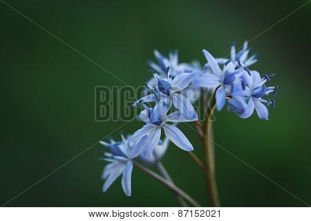 Blue Scilla (Squill) flowers, close up