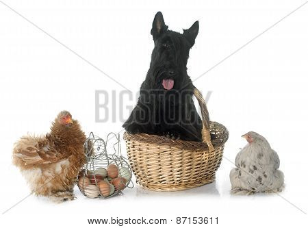 Scottish Terrier And Chicken