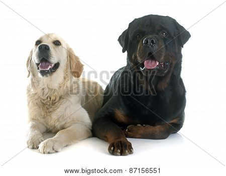 Golden Retriever And Rottweiler