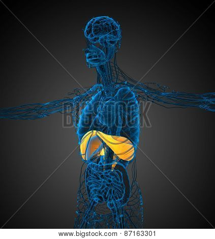 3D Render Medical Illustration Of The Diaphragm