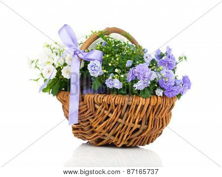 Blue And White Campanula Terry Flowers In The Wicker Basket, Isolated On White Background