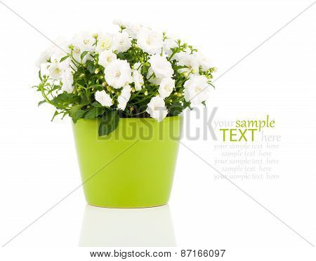 Campanula Terry Flowers, On A White Background.