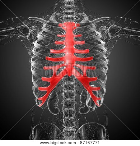 3D Render Medical Illustration Of The Sternum And Cartilage