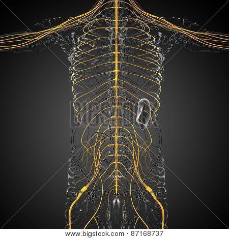 3D Render Medical Illustration Of The Nerve System