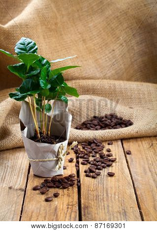 Coffee Plant Tree In Paper Packaging On Sackcloth, Wooden Background..