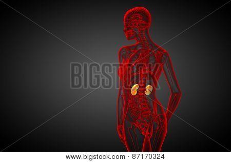 3D Render Medical Illustration Of The Human Kidney