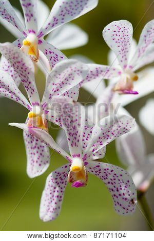 Beautiful Blossoming Orchid With Former Petals In A Violet Speck