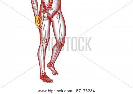 3D Render Illustration Of The Skeleton Hand
