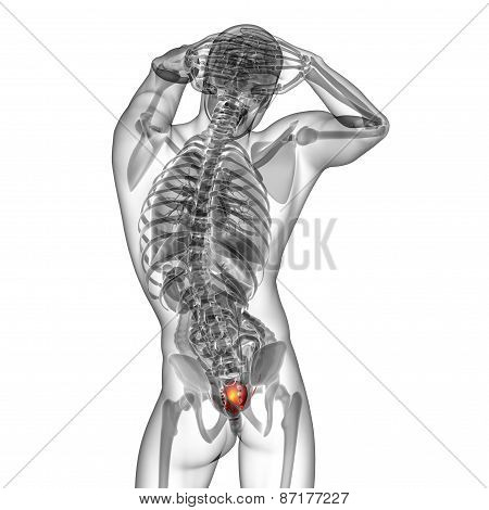 3D Render Medical Illustration Of The Bladder