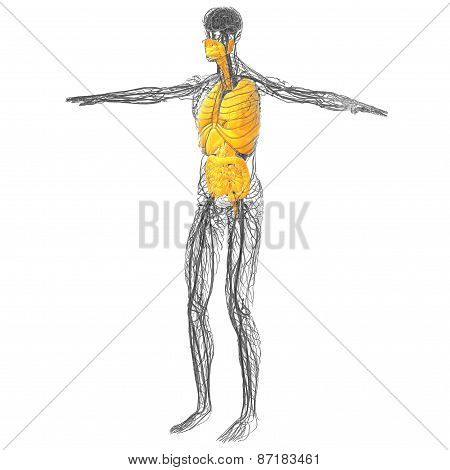 3D Render Medical Illustration Of The Human Digestive System And Respiratory System