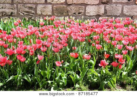 Beautiful Pink Tulip Bed In One Of The Many Istanbul Parks At Springtime