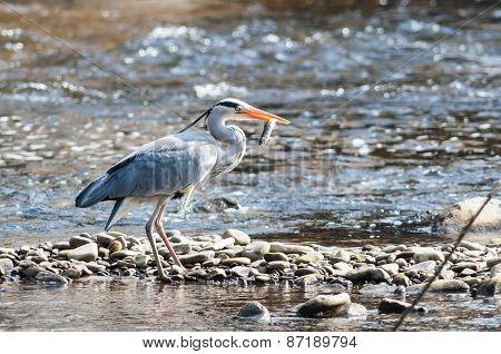 heron bird eating fish