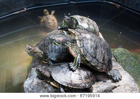 Turtles taking a sunbath on rock