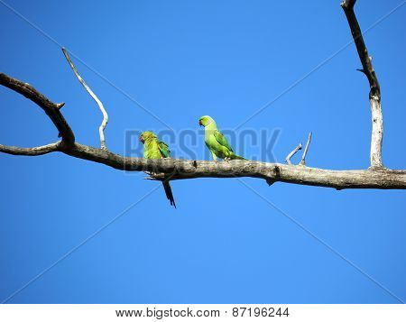 pair of green parrots sitting on tree branch