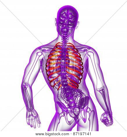 3D Render Medical Illustration Of The Ribcage