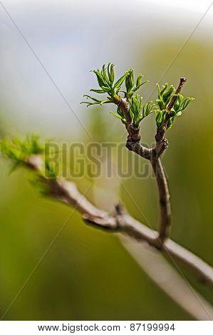 Spring Bud Of Leaves