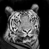 foto of sundarbans  - Closeup tiger portrait animal wildlife on black background - JPG