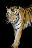 stock photo of sundarbans  - Closeup Tiger animal wildlife on black color background - JPG
