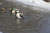 picture of duck  - Mallard Drakes  - JPG