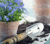 image of flower pot  - Vintage garden tools and blue flowers in terracotta flower pots  - JPG