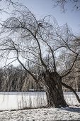 stock photo of weeping  - Weeping willow tree by the lake - JPG
