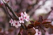 stock photo of tree-flower  - Close up of wild cherry flowers blossom - JPG