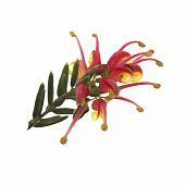 Bright Spring Flower Grevillea Fireworks Australian Native Plant